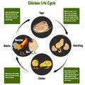 Chicken Life Cycle Diagram Royalty Free Stock Photo