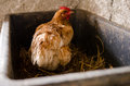 Chicken nesting adult in a hatch Royalty Free Stock Photo