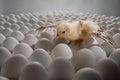 Chicken nestling one yellow on many hen s eggs horizontal photo Stock Photo