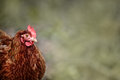 Chicken Portrait Royalty Free Stock Photo