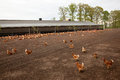 Chicken at poultry farm in the netherlands brown outside Royalty Free Stock Photo