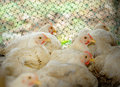 Chicken in poultry farm selective focus Royalty Free Stock Photo