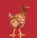Chicken on red background, isolated object, one closeup animal