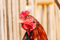 Chicken rooster head portrait closeup detail of farm poultry bir Royalty Free Stock Photo