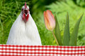 Chicken and tulip in the nature Stock Photos