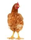 Chicken On White Background,  ...