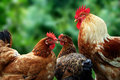 Royalty Free Stock Photography Chickens