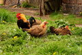 Chickens a cat sit on ground Royalty Free Stock Images