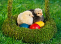 Chickens with  colored eggs Stock Photo