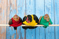 Chickens with colorful sweaters in henhouse row blue on stick Royalty Free Stock Image