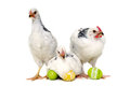 Chickens and easter eggs with isolated on a white background Royalty Free Stock Images