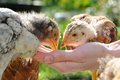 Chickens eating from hand cute little bread Royalty Free Stock Images