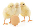 Chickens and egg brown on a white background Royalty Free Stock Image