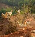 Chickens On Farmyard
