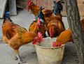 Chickens feeding cock down to eat in a bucket Stock Photography