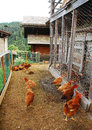 Chickens in fenced enclosure a brood of brown red their with coop rural north east italy Stock Photos