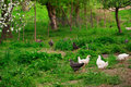 Chickens in green grass Stock Images