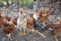 Chickens 02 Royalty Free Stock Photo