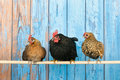 Chickens in henhouse row blue on stick Stock Image