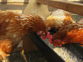 Chickens peck grain from the trough Royalty Free Stock Photo