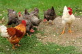 Chickens and roosters preparing for a battle while hens wait in the background Stock Image