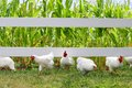 Chickens and roosters running under fence fluffy white are toward the camera from a in a corn field on a hobby farm Royalty Free Stock Image