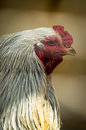 Chickens and roosters on a russian farm chicken or homemade chicken lat gallus gallus sometimes gallus gallus domesticus or gallus Stock Photo