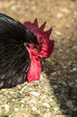 Chickens and roosters on a russian farm chicken or homemade chicken lat gallus gallus sometimes gallus gallus domesticus or gallus Royalty Free Stock Images