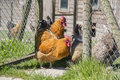 Chickens standing by a gate Stock Photography