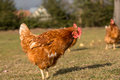 Chickens on traditional farm free range poultry Royalty Free Stock Images