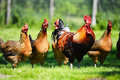 Chickens on traditional free range poultry farm Stock Image