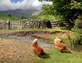 Chickens at wasdale head cumbria near wast water the lake district england Stock Photography