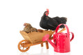 Chickens on wheel barrow resting isolated over white background Stock Images