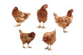 Chickens on a white background five in different poses Stock Images