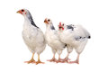 Chickens on white background is standing and looking isolated a Royalty Free Stock Photo