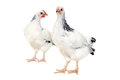 Chickens on white background is standing and looking isolated a Royalty Free Stock Images