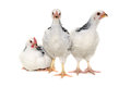 Chickens on white background is standing and looking isolated a Royalty Free Stock Photography