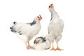 Chickens on white background is standing and looking isolated a Royalty Free Stock Photos