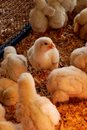 Chicks Stock Photography
