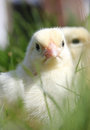 Chicks close up portrait Royalty Free Stock Images