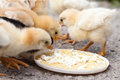 Chicks Royalty Free Stock Photo