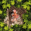 Chicks Hatchling Nest Royalty Free Stock Photo