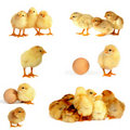 Chicks isolated on white, Royalty Free Stock Photo