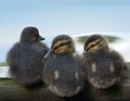 Chicks mallard in a huddle Stock Photo