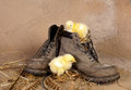 Chicks on an old boot Royalty Free Stock Photos