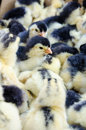Chicks for sale Royalty Free Stock Photo