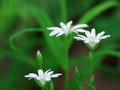 Chickweed flowers small white spring stellaria holostea in the forest Royalty Free Stock Photography