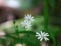Chickweed flowers small white spring stellaria holostea in the forest Stock Images