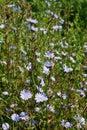 Chicory Stock Image