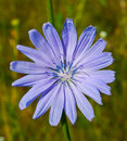 Chicory Stock Photography